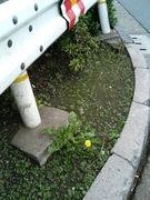 道端に咲くタンポポのように