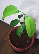 種から栽培・トロピカルフルーツ