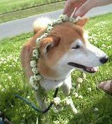 しろつめくさの花かんむり