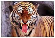 TRIPLE DOuBLE -孤高の虎獅子-