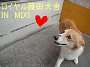 ロイヤル藤田犬舎ブリーダー
