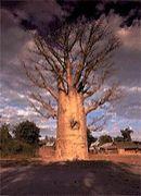 世界の樹木