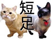 短足猫/マンチカン