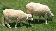 神戸羊飼い