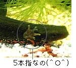 ニホンイモリ(アカハラ)