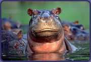 Friends of the crazy Hippo