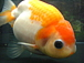 紅葉(もみじ)らんちゅう 金魚