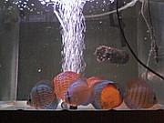 羽幌で熱帯魚