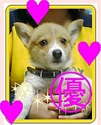 コーギー犬☆こたちゃん
