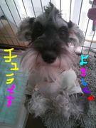 シュナプー☆ベビー☆犬カフェ