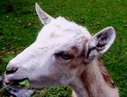ヤギとひつじのプロフ牧場