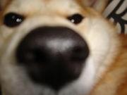 広島県の柴犬集まれ〜(^_-)-☆