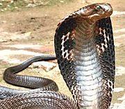 茨城コブラ会