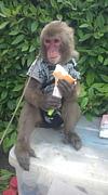 猿まわしアポロ
