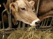 牛とチーズが恋しい
