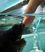 金魚の接吻【さよなら絶望先生】