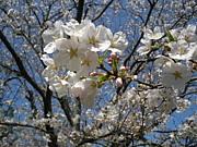 桜 倶楽部