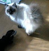 デブ猫好きです会?