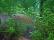 タイワンキンギョ(闘魚)