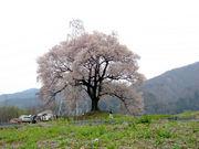 一本桜が好きだ!!