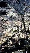 木屋町桜祭プロジェクト