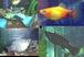 卵胎生魚好きの集い(淡水)
