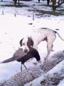 Hunting Gun Pointing Dog 猟犬