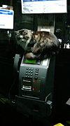 相模大塚駅の電話ボックス猫