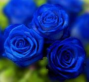 +++Blue Rose+++