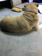 ベージュの犬の会