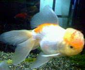 金魚ゎ熱帯魚なんかに負けない