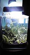 小型水槽で熱帯魚!