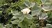 讃岐で 綿 栽培