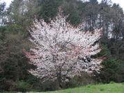 野生の桜が好き☆