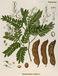 Asian Herb アジアのハーブ