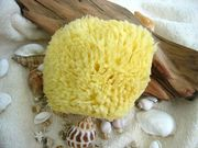 海綿 sea cotton sponge