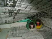 Love Bird  *ボタンインコ*