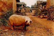 豚好き好き