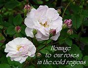 寒冷地でのバラ