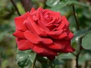 血のように赤い薔薇