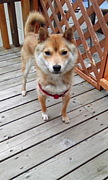 北海道旭川行方不明犬探してます
