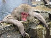 猿と温泉に入りたい