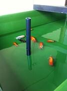 あきる野市金魚好きの集い