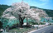 荘川 sakuraソフト愛好会