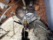 夏の鳴く虫「スズムシ」