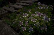 『紫陽花が好き』