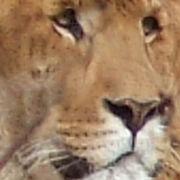 LIGER = LION + TIGER