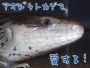 アオジタトカゲを愛する