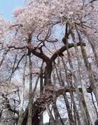 花の山形  巨木・老木の山形