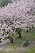 桜☆303